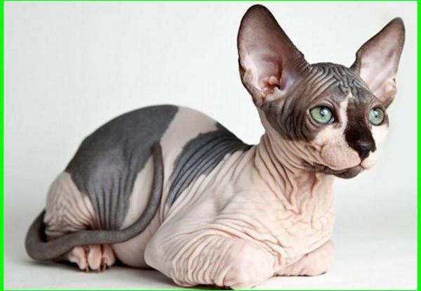 apa itu kucing sphynx, kenapa kucing sphynx tidak berbulu, kenapa kucing sphynx mahal, kucing sphynx adalah, kucing sphynx berasal dari, cara merawat kucing sphynx, ciri ciri kucing sphynx, kelebihan kucing sphynx, kucing sphynx, gambar kucing sphynx, asal kucing sphynx, fakta kucing sphynx, asal usul kucing sphynx, sejarah kucing sphynx
