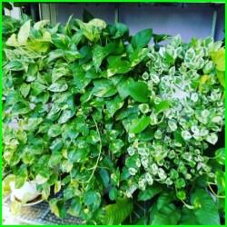 sirih gading jumbo, sirih gading adalah, sirih gading besar, sirih gading cara merawat, sirih gading cantik, sirih gading cepat tumbuh, perawatan sirih gading, sirih gading daun besar, sirih gading daun lebar, sirih gading dalam pot, sirih gading dalam ruangan, macam sirih gading, pohon sirih gading, sirih gading (epipremnum aureum), sirih gading hijau, sirih gading hijau putih, sirih gading kuning, sirih gading liar