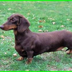 sifat anjing dachshund, makanan anjing dachshund, cara merawat anjing dachshund, beli anjing dachshund, jenis anjing dachshund, karakter anjing dachshund, anjing mini dachshund, jual anjing mini dachshund, anjing tekel dachshund, anjing daschund