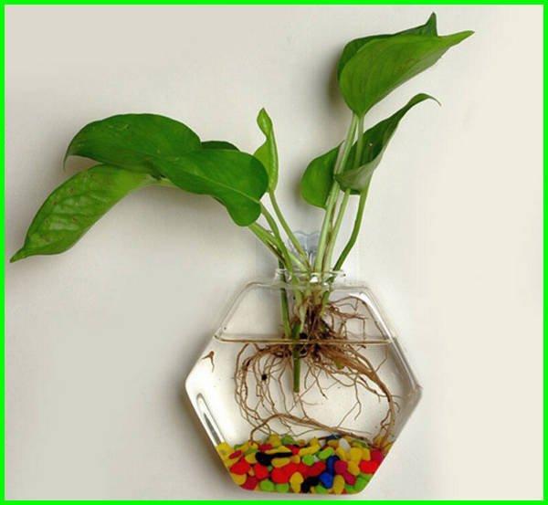 tanaman hias gantung cantik, tanaman hias gantung media air, tanaman hias gantung cantik, contoh tanaman hias gantung, contoh tanaman hias gantung dan alasannya, contoh tanaman hias gantung beserta nama latinnya, tanaman gantung media air, tanaman gantung air