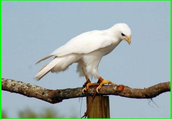 elang putih, gambar burung elang putih, gambar elang putih, makna elang putih, sifat elang putih, foto burung elang putih
