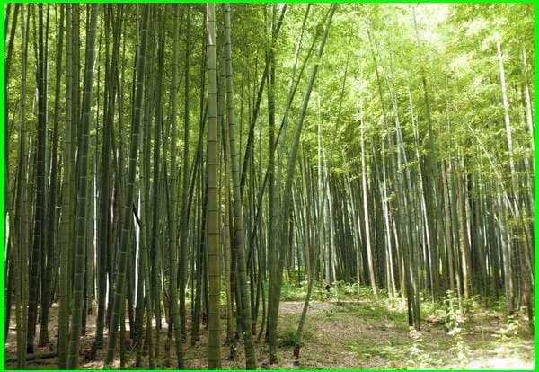 bambu beradaptasi, cara bambu beradaptasi, bambu cara beradaptasi, tanaman bambu beradaptasi dgn, bambu beradaptasi dengan, tanaman bambu beradaptasi dengan cara, pohon bambu beradaptasi terhadap lingkungan dengan cara, bagaimana bambu beradaptasi dengan lingkungan, cara pohon bamboo beradaptasi adalah, cara pohon bamboo beradaptasi dengan lingkungan, bambu beradaptasi dengan lingkungan dengan cara, bambu beradaptasi dengan lingkungan, pohon bambu beradaptasi dengan cara, pohon bambu beradaptasi dengan lingkungan, bambu beradaptasi dengan cara, bagaimana bambu beradaptasi
