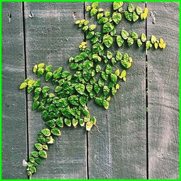 tanaman hias daun, tanaman hias daun kecil, tanaman hias daun putih hijau, tanaman hias daun hijau putih, tanaman hias daun putih, tanaman hias daun merambat, tanaman hias daun hijau garis kuning, tanaman hias daun rambat, sebutkan contoh tanaman hias daun