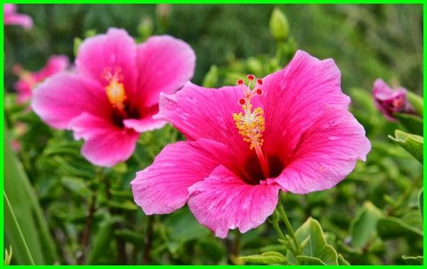 kembang sepatu adalah, kembang sepatu bahasa inggrisnya, bunga sepatu cirinya, bunga sepatu ciri ciri, bunga sepatu contoh, kembang sepatu dan penjelasannya, kembang sepatu gambar, kembang sepatu gunanya, bunga sepatu gambar, kembang sepatu (hibiscus rosa sinensis), kembang sepatu khasiat, kembang sepatu klasifikasi, kelopak kembang sepatu, bunga sepatu lengkap, kembang sepatu manfaatnya, kembang sepatu obat, kembang sepatu pink, kembang sepatu pemanfaatan, kembang sepatu untuk apa, kembang sepatu warna pink, kembang sepatu wikipedia, kembang sepatu wallpaper