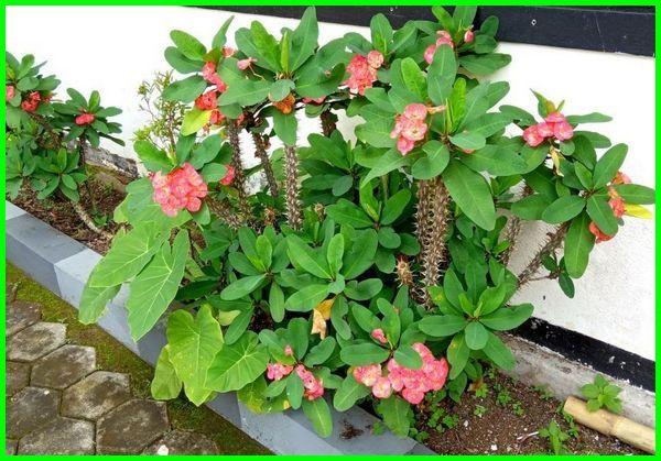euphorbia milii, tanaman euphorbia milii, klasifikasi euphorbia milii, euphorbia milii plant, euphorbia milii plant care, euphorbia milii care, euphorbia milii habitat, ciri ciri euphorbia milii, euphorbia milii description, euphorbia milii wikipedia