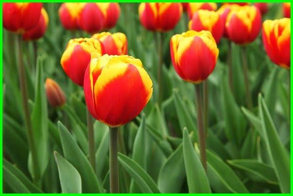 warna batang bunga tulip, arti warna bunga tulip, bunga tulip warna kuning, bunga tulip bunga tulip, gambar warna bunga tulip, arti dari bunga tulip, warna warna bunga tulip, bunga tulip adalah, arti bunga tulip warna kuning, foto bunga tulip warna warni, aneka warna bunga tulip, warna bunga tulip