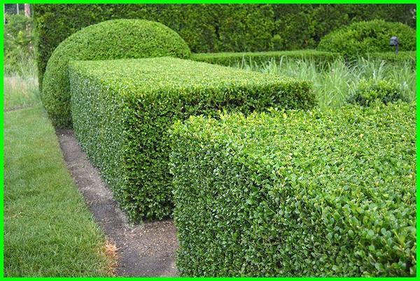 tanaman pagar kecil, tanaman pagar pendek, tanaman hiasan pagar, gambar pagar tanaman hias, tanaman pagar yang cepat tumbuh, tanaman di luar pagar, tanaman pagar kebun, tanaman pagar minimalis, tanaman luar pagar, gambar tanaman pagar, tanaman pagar hijau