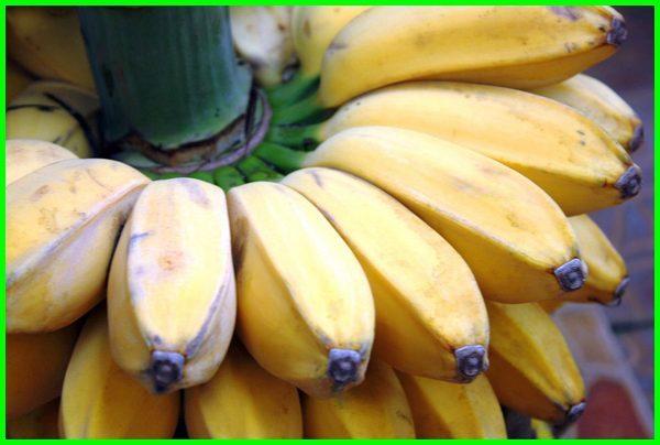 jenis pisang kepok, kandungan pisang kepok, nama lain pisang kepok, contoh pisang kepok, pisang kepok untuk diet, pisang kepok manfaatnya