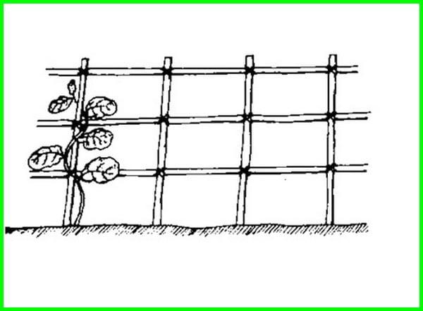 lanjaran untuk tanaman merambat, cara menanam timun, budidaya timun, cara menanam timun dari biji, cara tanam timun, menanam timun, menanam timun di musim hujan, menanam timun di polybag, cara budidaya timun,cara menanam timun di polybag, cara menanam timun dalam polybag