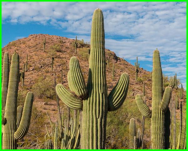 apa itu tanaman kaktus, asal tanaman kaktus, apa yang dimaksud dengan tanaman kaktus, sejarah kaktus