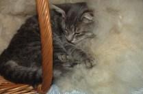 Burgl schläft im Korb mit der frisch gezupften Wolle