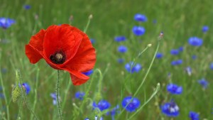 http://all-free-download.com/free-photos/download/poppy-flower-nature_219157.html