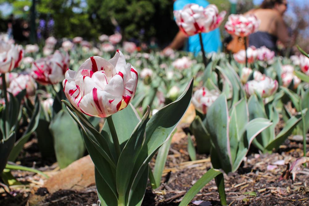 Pretty pink and white tulip