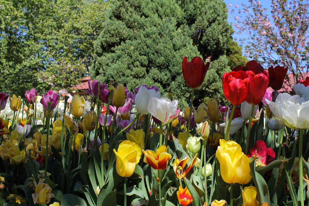 Tulips graced by some shade.