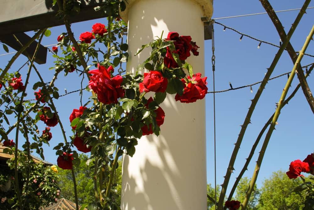Roses around a pillar