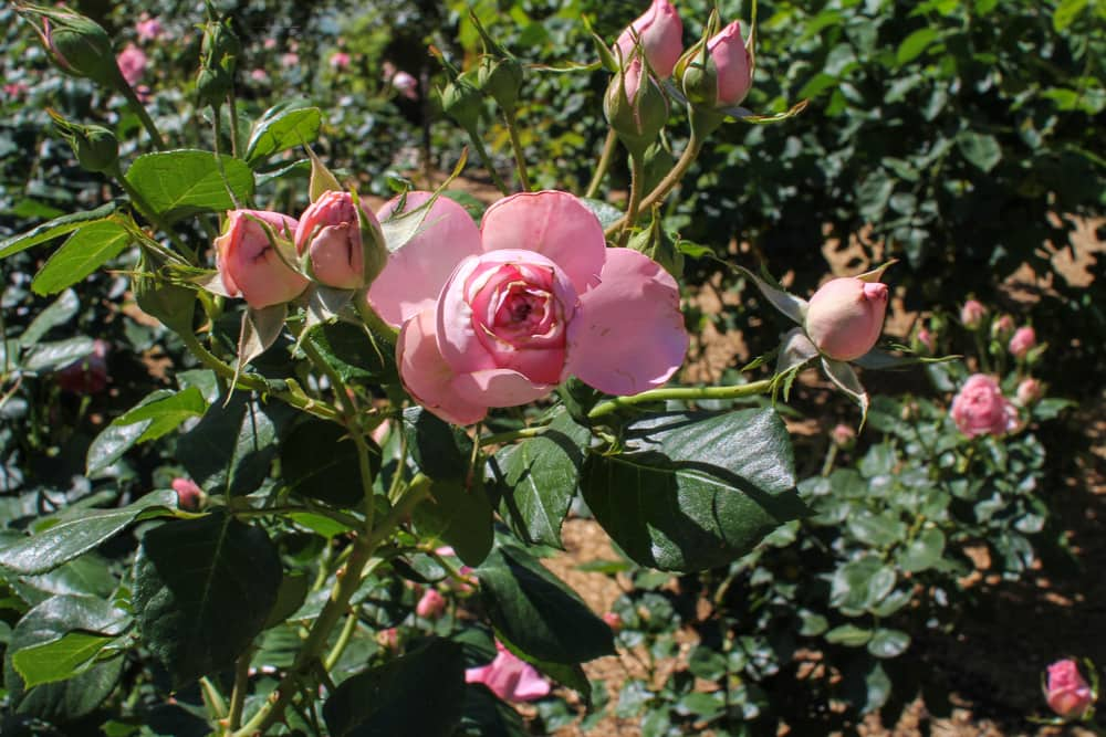 Roses in a slightly different shade of pink