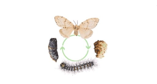 Four stages of gypsy moths and how to control them.