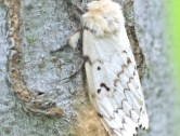 Making your own Gypsy Moth DYI traps