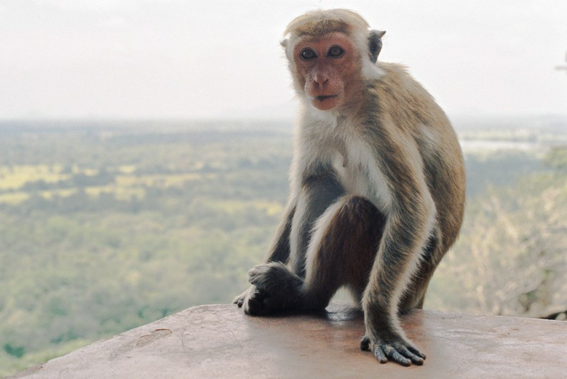 Sigiriya monkey | Sri Lanka
