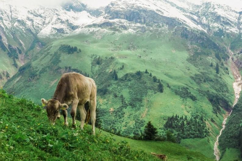 Grazing Braunvieh mountain cow, Vorarlberg, Austria