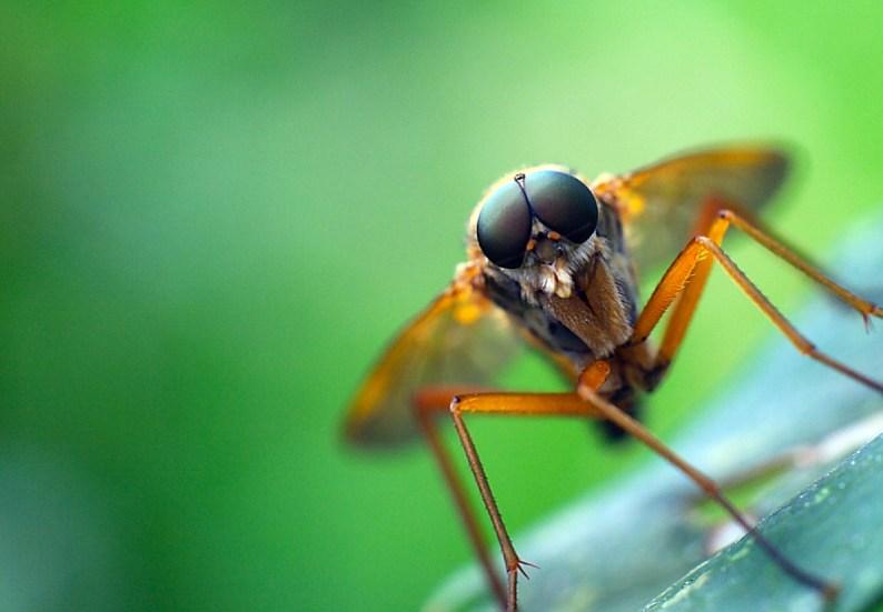 Mosquito poised to bite