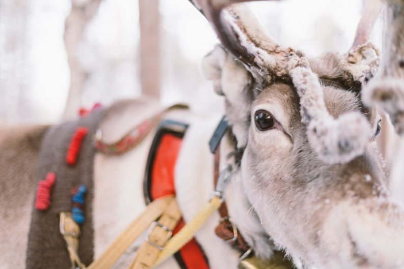 Reindeer | Why Lapland Should Be On Every Travel Bucket List