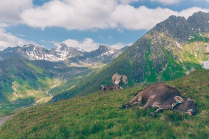 Cows in the Alps, Austria on the Culinary Jakobsweg