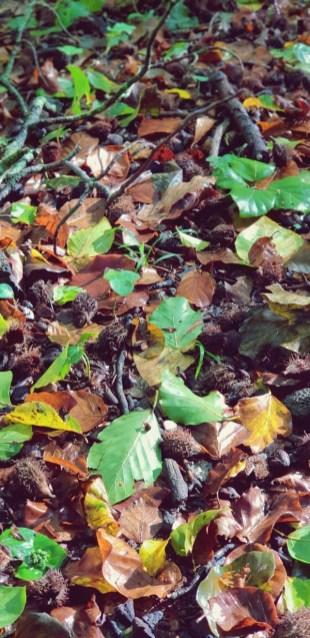Autumn leaves in La Fageda d'en Jordà forest, La Garrotxa, Girona Province, Catalonia