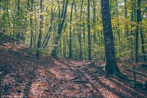 Beech trees in the forest of La Fageda d'en Jordà, excellent destination for mindfulness
