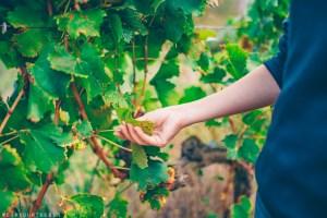 Examining vines at Mas Llunes, a winery in DO Empordà, Girona Province, Catalonia