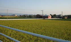 Chikuzen machi view of rice fields