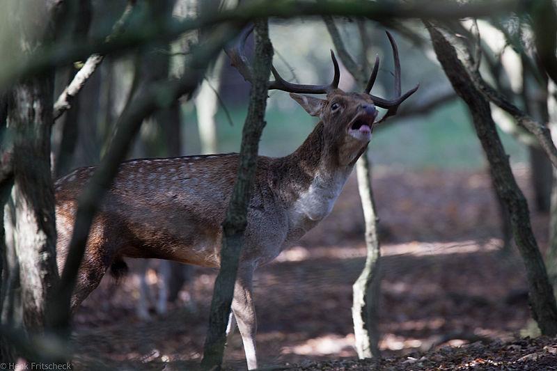 Damhert (Dama dama) Damhirsch Fallow Deer