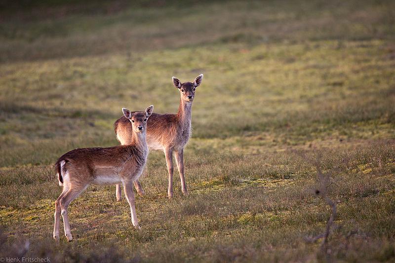 Damherthindes  (Dama dama) Damhirsch Fallow Deer