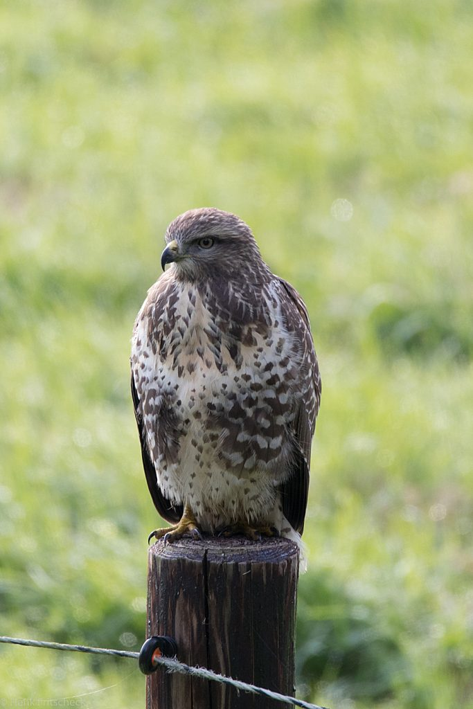 Blog #052 Buizerd in Bergen