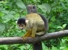 Petit singe jaune