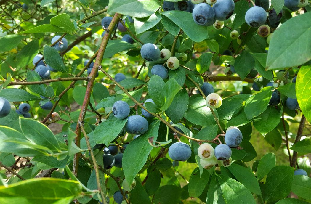 blueberry home garden information