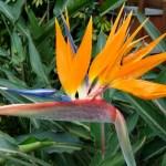 Bird Of Paradise Home Garden Information Center