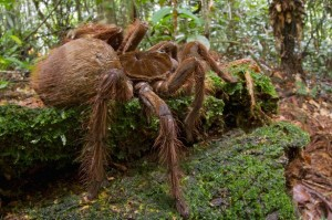 PAY-Goliath-Bird-eating-Spider