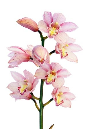 orchid_flowers_plant