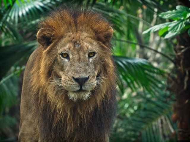 close up photo of lion