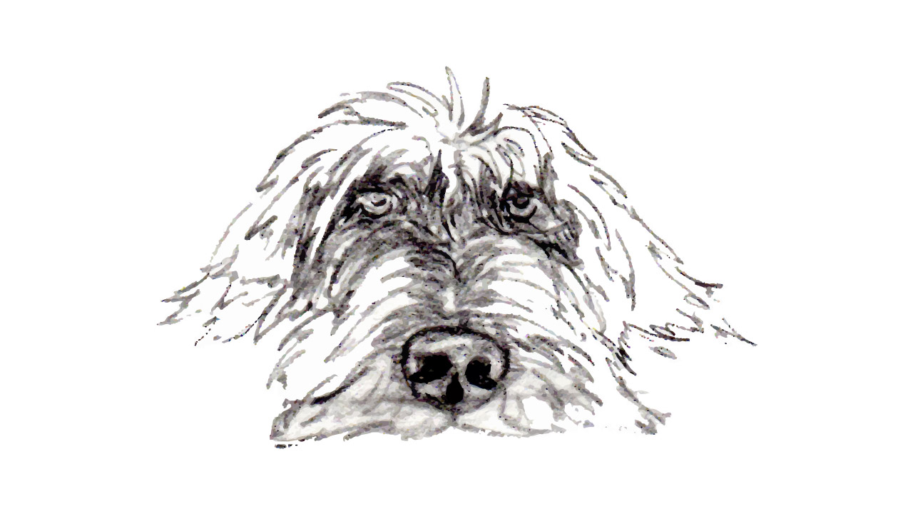 All about Wirehaired Pointing Griffons | H&H Griffons