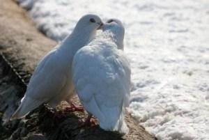 öpüşenkumrular