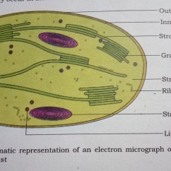 Chloroplast Diagram With Labels Obd2a To Obd1 Wiring How Are Well Labeled Of A Sectional View And Download Jpg