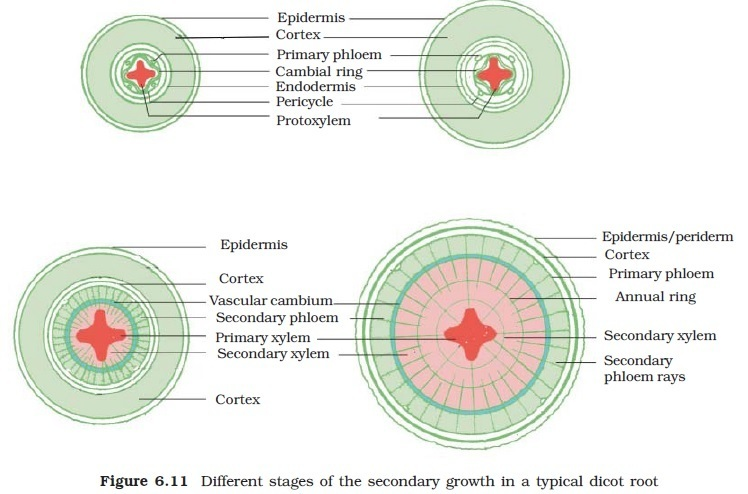 dicot root diagram 2006 sterling truck wiring diagrams explain secondary growth in with a brainly download jpg