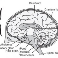 Human Brain Diagram Label 12s Wiring A I Draw Neat Of And Ii Medulla Download Png