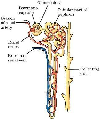 nephron diagram from a textbook saturn sc2 radio wiring easy steps to draw class 10 ncert write down each step download jpg