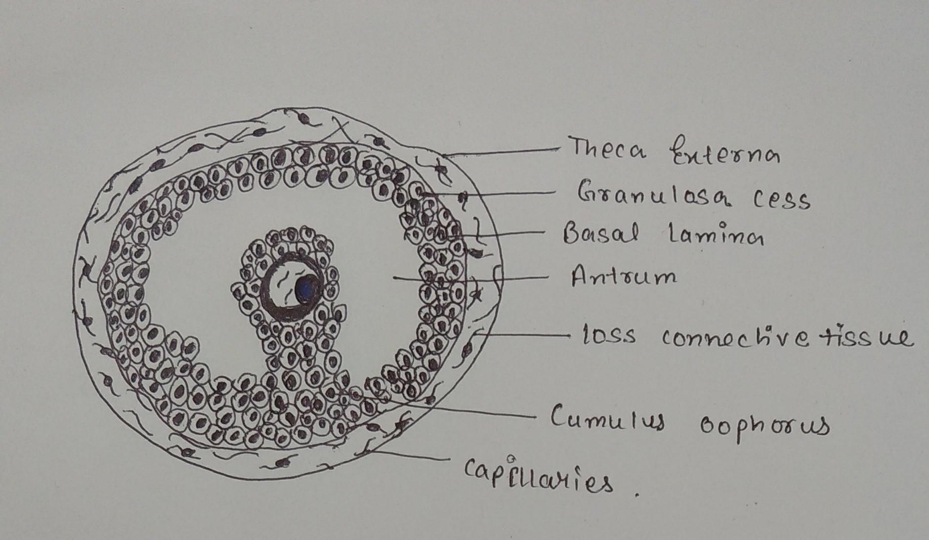 Draw A Labeled Diagram Of A Graafian Follicle