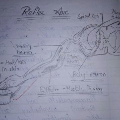 Diagram Of A Simple Reflex Arc 79 Shovelhead Wiring Draw Neat Labelled Brainly In Download Jpg