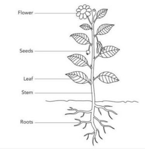 Draw neat and well labelled diagrams of: (a) Parts of a plant (b) Hand spindle  Brainlyin