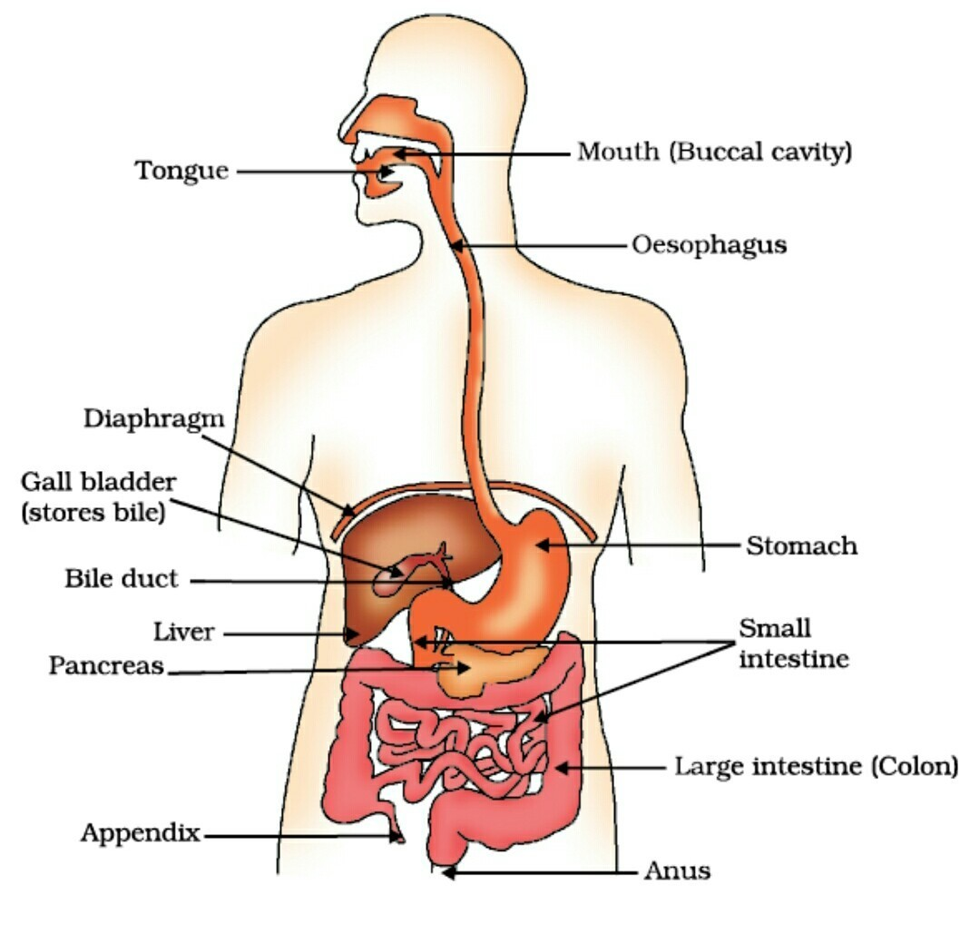 hight resolution of easy steps to draw human digestive system class 10 ncert write simple distillation diagram digestion diagram simple